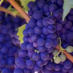 grapes-690977_1280